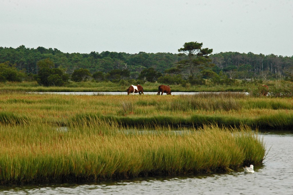 Assateague Beach ponys
