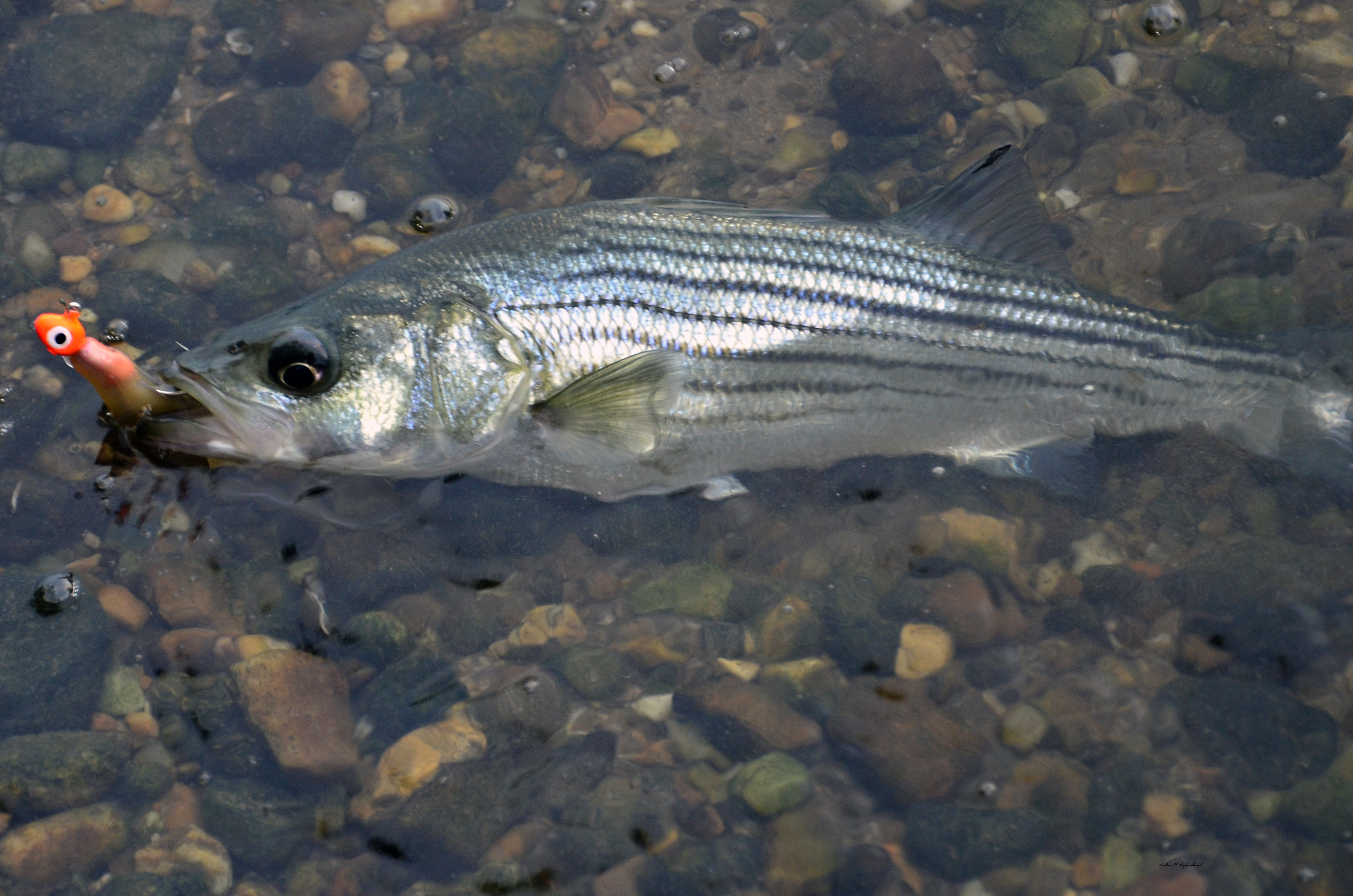 Potomac river fall stripers augie 39 s adventuresaugie 39 s for Potomac river fishing