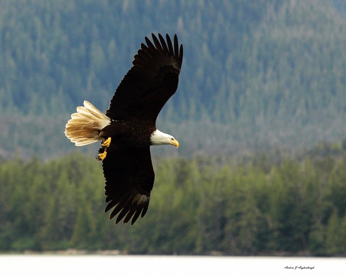 open wing turning eagle